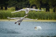 Missed (stephen.darlington) Tags: bushypark england surrey unitedkingdom bird cygnusolor muteswan vertebrate animal planet