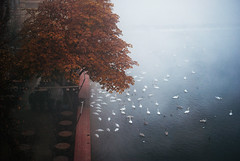Swans gathering (ewitsoe) Tags: prague praha czechrepublic autumn river swans feeding fog foggy mist fall tree colorful red haze misty ewitsoe nikond80 35mm stree tcity europe travel tourism birds swasn flock
