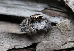Unid Salticidae (Michael__Sanders) Tags: spider macro jumper jumping canon 70d 100mm