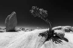 curiosity (alouest225) Tags: noiretblanc blackandwhite monochrome tree arbre usa unitedstates etatsunis nikon d750 alouest225 paysage landscape joshuatreenationalpark california californie np nikon1635 thegoldenstate jumborocks monolith