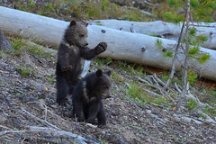 Have a nice day! (Hammerchewer) Tags: grizzlybear bear cubs wildlife outdoor yellowstone