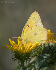 Orange Sulphur 20160929_2340 (GORGEous nature) Tags: coliadinae coliaseurytheme lakewichita lepidoptera locations orangesulphur pieridae texas wichitaco wichitafalls butterfly fall nectaring scenic september johndavis