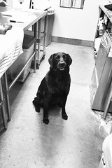 HUNGRY Addie (Service.dog.addie) Tags: iphoneography iphone6splus iphone blackandwhite hopeful bordercolliemix mixedbreed mutt blacklab retriever labrador black lab mix dogs dog