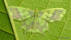 Geometer Moth (Ecuador Megadiverso) Tags: andreaskay ecuador geometermoth geometridae moth