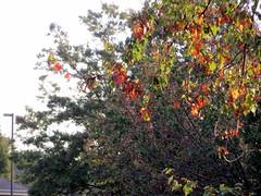 Trees. (dccradio) Tags: lumberton nc northcarolina robesoncounty tree trees sky morning nature landscape streetlight light lightpole utilitypole lamppost foliage autumn fall