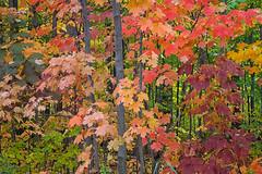 Autumn Medley (Jenny Pics) Tags: autumn leaves colour ontario canada green orange pink yellow purple trees