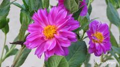 aster ( Graa Vargas ) Tags: graavargas 2016graavargasallrightsreserved flower pink aster asteraceae