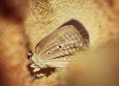 Cycad Blue - dead female (tinlight7) Tags: cycadblue cycadcupid plainsblue dubai uae butterfly taxonomy:kingdom=animalia animalia taxonomy:phylum=arthropoda arthropoda taxonomy:subphylum=hexapoda hexapoda taxonomy:class=insecta insecta taxonomy:subclass=pterygota pterygota taxonomy:order=lepidoptera lepidoptera taxonomy:superfamily=papilionoidea papilionoidea taxonomy:family=lycaenidae lycaenidae taxonomy:genus=chilades chilades taxonomy:species=pandava taxonomy:binomial=chiladespandava chiladespandava plainscupid  taxonomy:common=plainscupid taxonomy:common=