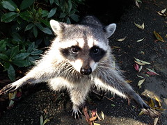 Hold-Up, Raccoon Style! (FernShade) Tags: vancouverbc stanleypark lostlagoon raccoon procyonlotor raccoonbegging wildlife urbanwildlife