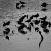 Blackbirds (gecko47) Tags: bird birds waterbirds waders blackwingedstilts himantopushimantopus silhouettes mangroves sticks shadows shallows tidal wynnum brisbane bw blackandwhite