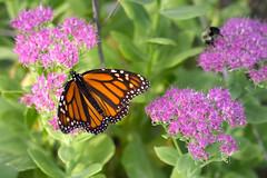 IMG_6861-Edit.jpg (scott_bohaty) Tags: state photographytype subject location butterfly nebraska macro