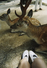 For real doe (Ami Van Caelenberg) Tags: analog analogue disposable disposablecamera fujifilm japan miyajima deer animal travel asia itsukushima hiroshima legs feet shoes shrine shinto