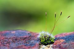 Life on the Edge (PhilR1000) Tags: moss wall brick edge growing mortar macromondays