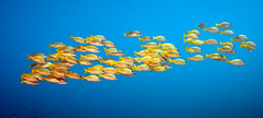 FLA-161001-ND800-8193 (ferlopez) Tags: bluestrippedsnapper fish lutjanuskasmira marinelife snapper taape underwaterphotography wailea mauihawaii usa
