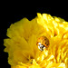 Yellow+Lady+-+Coccinelle+jaune