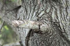 il ramo tagliato (conteluigi66) Tags: ramo macro sfocato profonditadicampo luigiconte albero legno tagliato