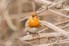 Singing a song 710_8723.jpg (Mobile Lynn) Tags: robin birds nature wild hurst england unitedkingdom gb