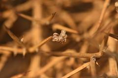 Posta d'ous a l'argilaga (esta_ahi) Tags: cantallops avinyonet peneds barcelona spain espaa  ous eggs huevos puesta insectos fauna