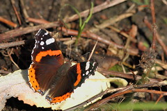 Last Red Admiral of the year. (david.england18) Tags: redadmiral smallbirds various tits blue great coal canon7d canonef300mmf4lisusm iridescent leaf colours feeding sun