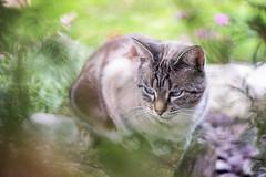 Im (Thomas Vanderheyden) Tags: bokeh cat chat colors couleur fauna faune fujifilm portrait thomasvanderheyden xt1