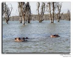Kenya_238 (Sio ®) Tags: hipopotamo kenia lagonaivasha