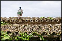 Pfau / paon / peacock (_Asphaltmann_) Tags: pentax ks2 pfau peacock paon dach roof grn