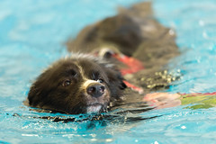 Ted Swimming (Malcolm Saunders) Tags: ted dog swimming pool water treatment vets animal pet