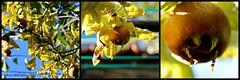 MISPELS || MEDLARS (Anne-Miek Bibbe) Tags: canoneos700d canoneosrebelt5idslr annemiekbibbe bibbe nederland 2016 tuin garden jardin giardino jardim natuur nature oktober || october ottobre octubre outubro herfst autumn outono herbst automne otoo mispel nflier medlar nspero nspera