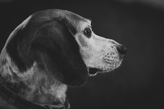 DSC_3438 (CEGPhotography) Tags: dog canine beagle pet friend furryfriend pup companion nikon cegphotography d810