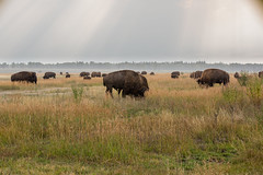 Bison heard on Elk Ranch Flats (gunigantip) Tags: moran wyoming unitedstates gtnp grandtetonnationalpark grandtetons tetons nationalpark elkranchflats turnout bison