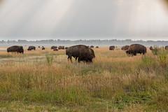Elk Ranch Flats (gunigantip) Tags: moran wyoming unitedstates gtnp grandtetonnationalpark grandtetons tetons nationalpark elkranchflats turnout bison