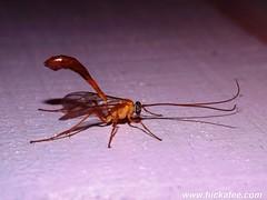 Ichneumon wasp - Family Ichneumonidae (Dis da fi we (was Hickatee)) Tags: wasp paperwasps puntagorda toledodistrict belize ichneumonwasp ichneumon ichneumonidae toledo jungle rainforest forest wildlife culture