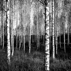 Nowhere to hide (Barry_Madden) Tags: trees blackandwhite suomi finland koivu birch southkarelia
