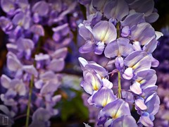 Close-up on Wisteria Blooms (Explored) (DigiJack Photography) Tags: flowers flower macro nature closeup photography spring nikon dof lyon bokeh 1855mm blooms printemps wisteria nikond3200 d3200 digijack