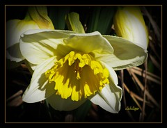 Spring is Sprung (clickclique) Tags: white flower yellow happy spring daffodil naturescarousel
