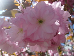 Blossoming (plus 4 in comments) (lightloverLori) Tags: spring beautifullight kwanzanjapanesecherrytree
