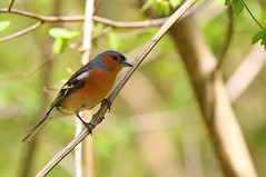 Chaffinch (Fringilla coelebs) (Veg_Brush) Tags: trees red male green bird nature animal closeup standing grey wings britain wildlife feathers british folded common chaffinch vertebrate fringilla coelebs perching
