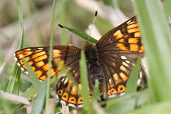 Duke of Burgundy (f) (Jelltex) Tags: butterfly kent dukeofburgundy hamearislucina jelltex jelltecks