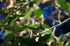 DSC_1529 (john.r.d.reynolds) Tags: goldengatepark birds wildlife hummingbirds