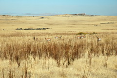 13 - Pronghorns (Scott Shetrone) Tags: animals utah events places antelopeisland mammals 7th pronghorns anniversaries
