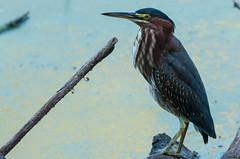 Green Heron (rpennington9) Tags: birds animals herons greenheron tennessee chattanooga nikon