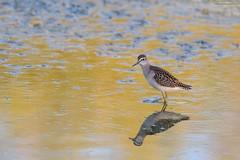 piro piro boschereccio (taronik) Tags: animali acqua riflessi cacciafotografica natura uccelli piropiro