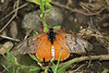 75. Butterfly (Sp. Unknown, Maybe Acraea oncaea), Virunga National Park, Democratic Republic Of Congo (Jay Ramji's Travels) Tags: africa acraeaoncaea insect lepidoptera butterfly heliconiinae nymphalidae virunganationalpark democraticrepublicofcongo brushfootedbutterfly