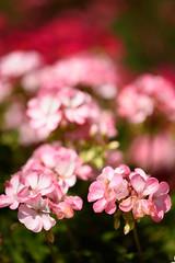Zeiss_135f2_f2_98889 (tombomba2) Tags: 13520 135mm apo blumen blten geranien objektive pflanzen sonnar zeiss bloom blossom blhen f20 flowers fullresolution geranium lenses plants altdorf bayern deutschland