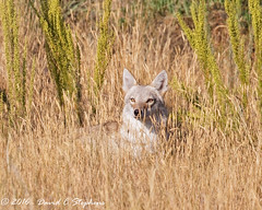 Beautiful coyote shows its amber eyes... (dcstep) Tags: coyote westerncoyote canine wildcanine relaxing aurora colorado unitedstates us y6a3536dxo cherrycreekstatepark allrightsreserved copyright2016davidcstephens dxoopticspro111 nature urban urbannature sanctuary handheld pixelpeeper