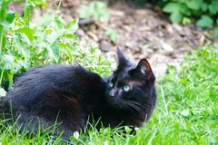 Looking Back (frankbehrens) Tags: katze katzen cat cats chat chats gato gatos kater tom