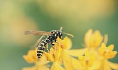 Yellow (Kim's Pics :)) Tags: wasp yellowjacket bug insect wings buzzing flower yellow pollen garden summer assiniboinepark bokeh background blur englishgardens canada winnipeg manitoba ngc