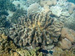 Crinkly coral Michaelmas Cay (dracophylla) Tags: michaelmascay greatbarrierreef queensland australia