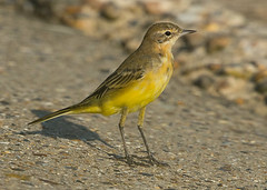 Yellow Wagtail 26-8-16 East lane_F8A4488 (nick5943) Tags:
