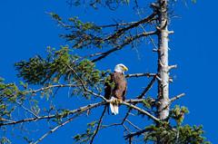 D7K_7770 (gsedun) Tags: eagle quadra island baldeagle